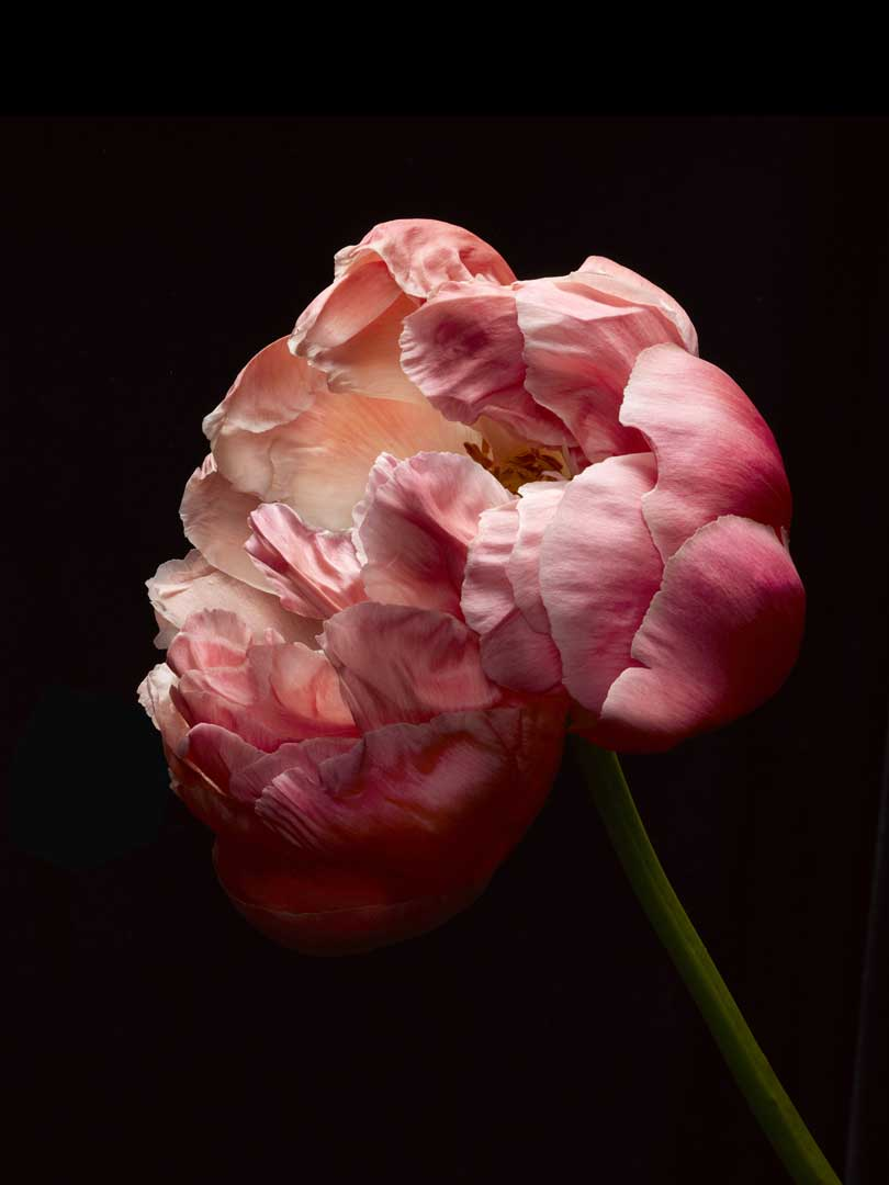 ColorPeonie_BlackPlate2