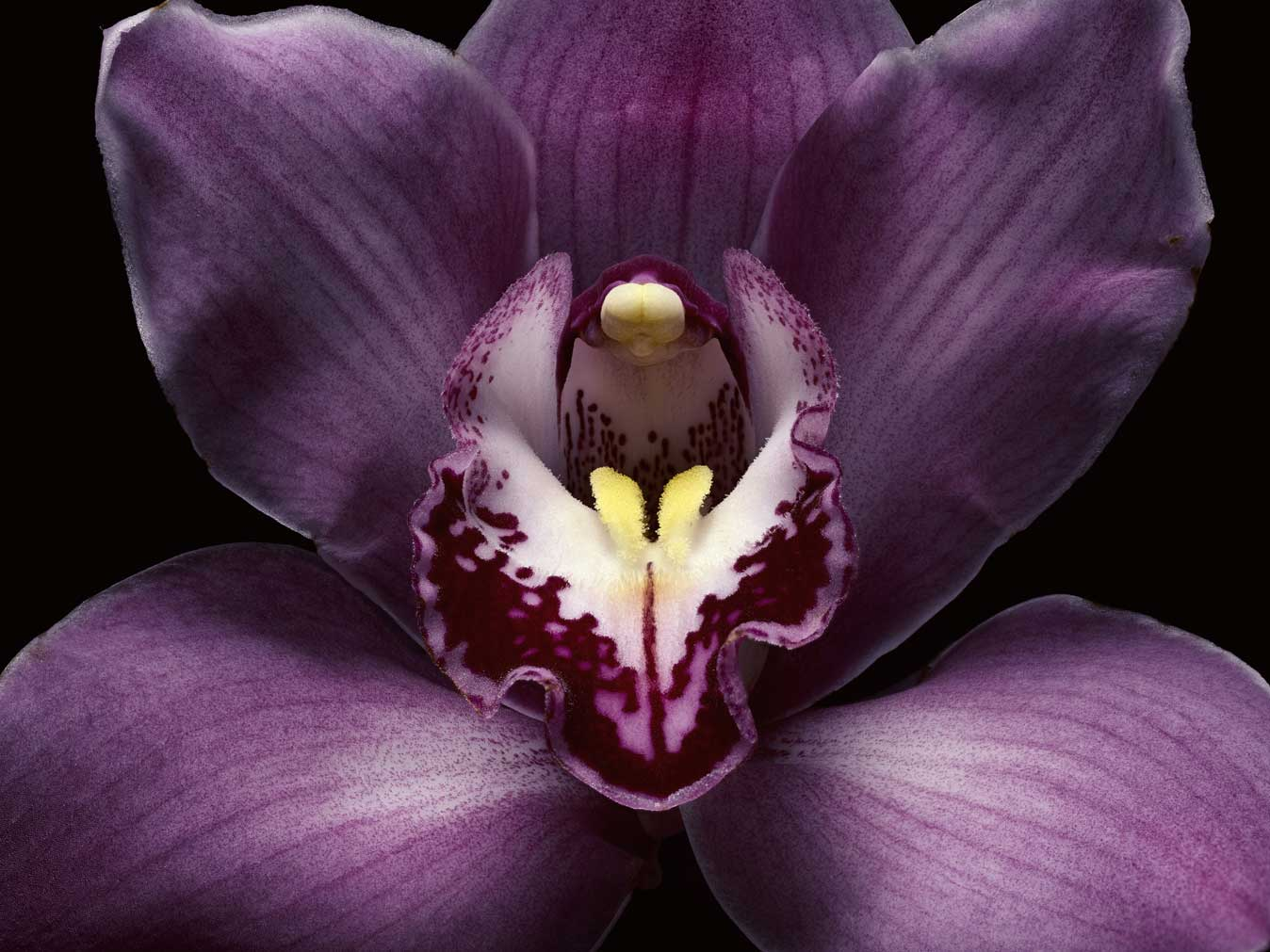 PurpleOrchidCloseup